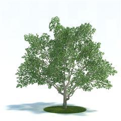 Evermotion Archmode 植物 弗吉尼亚木兰