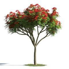 绿色植物合集 各类树木 凤凰木 Delonix regia