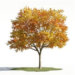 各类树木 落叶乔木 中华金叶榆