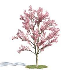 绿色植物套系 树木 花旗木 Cassia bakeriana