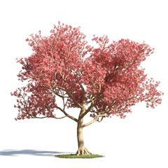 绿色植物套系 树木 美丽异木棉 美人树 Chorisia Speciosa