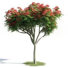 绿色植物套系 树木 凤凰木 Delonix regia