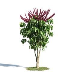 绿色植物套系 花草树木 澳洲鸭脚木