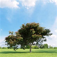 精美树木模型系列 凤凰木