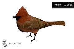 北美红雀 cardinal bird