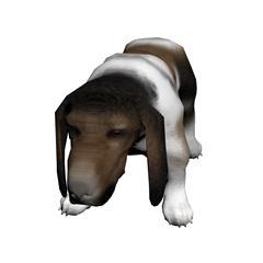 巴吉度犬 basset