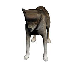 草原狼 coyote