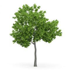 针叶树 2