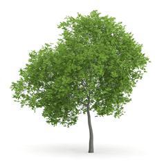 针叶树 3