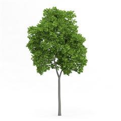 针叶树 5