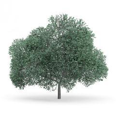 针叶树 6