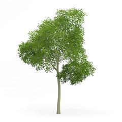 针叶树 23
