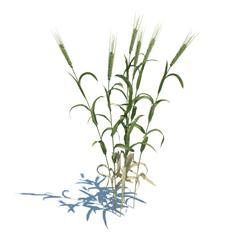 结穗的小麦
