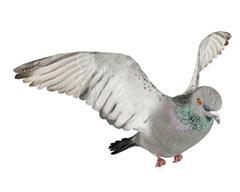 鸽子 飞翔