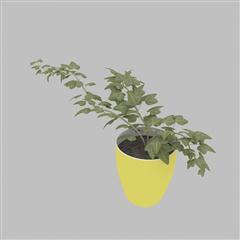 观草植物 盆栽